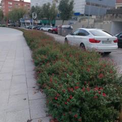 Planta vivaç en vorera