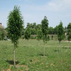 grup de Sorbus, maig 2012