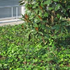 Magnolia grandiflora i Hedera helix