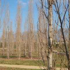 Plantacions en massa de pollancres. Març 2014